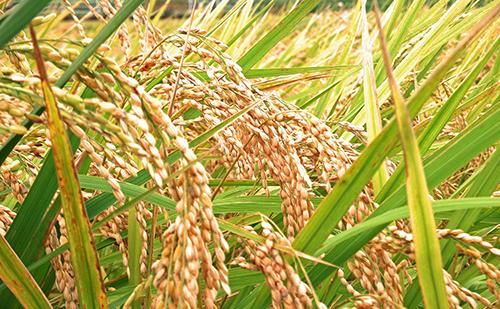 竹パウダーは稲作にもおすすめ